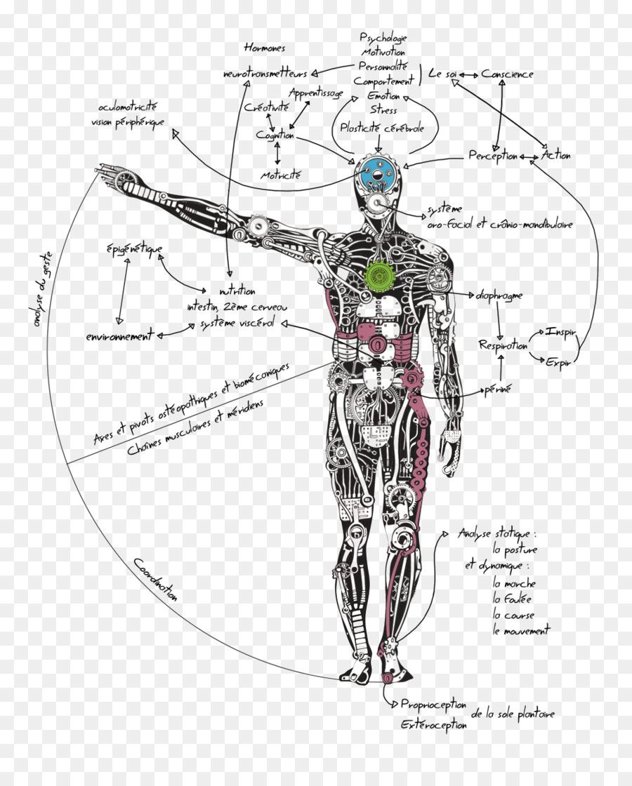 Músculo Homo sapiens cuerpo Humano Escápula Trapecio - Clinton Le ...
