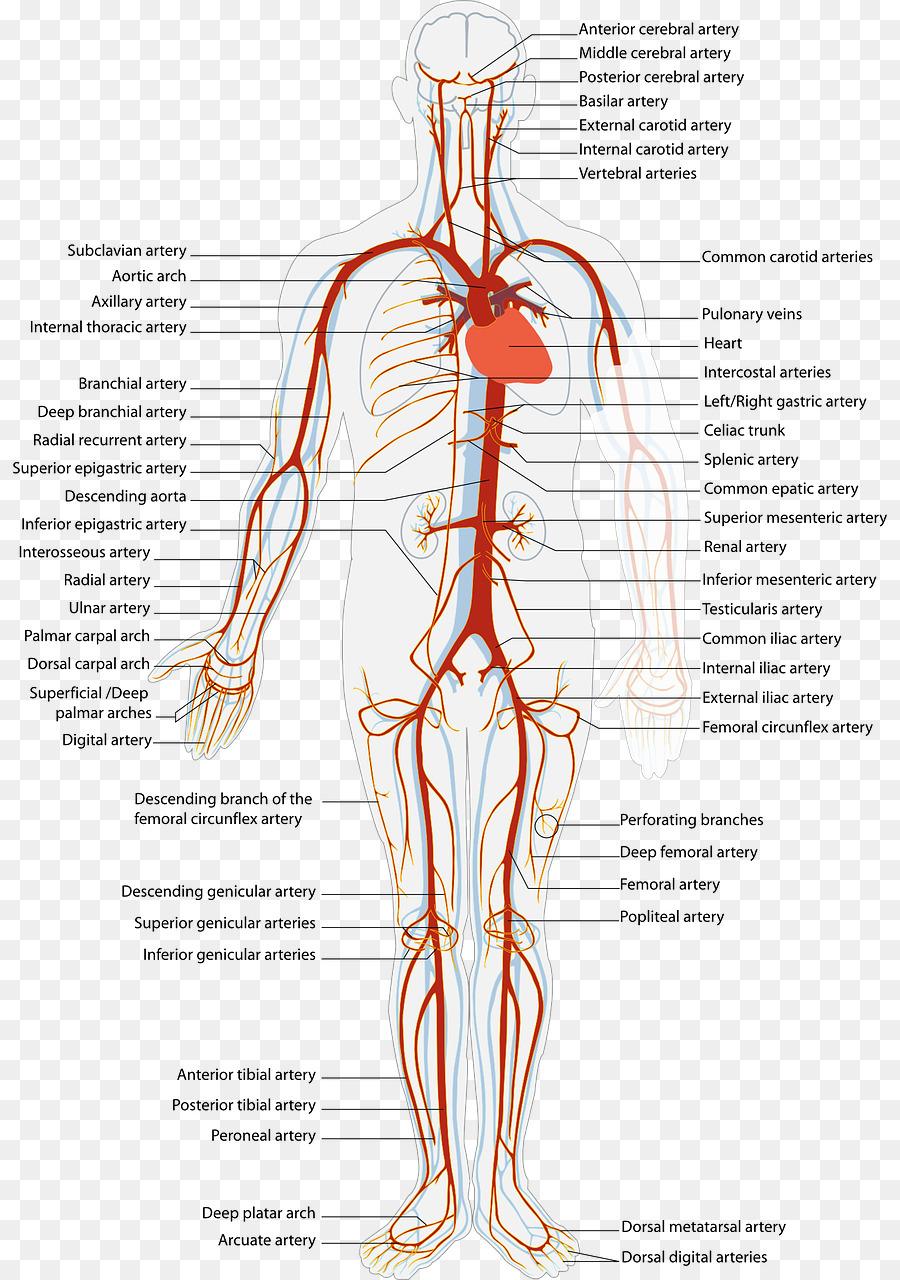 Arterias y Venas del sistema Circulatorio de la Arteria del cuerpo ...