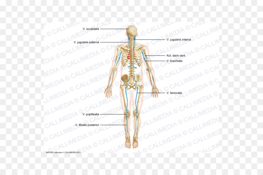 Homo Sapiens Artery Shoulder Anatomy Human Body Arm Png Download