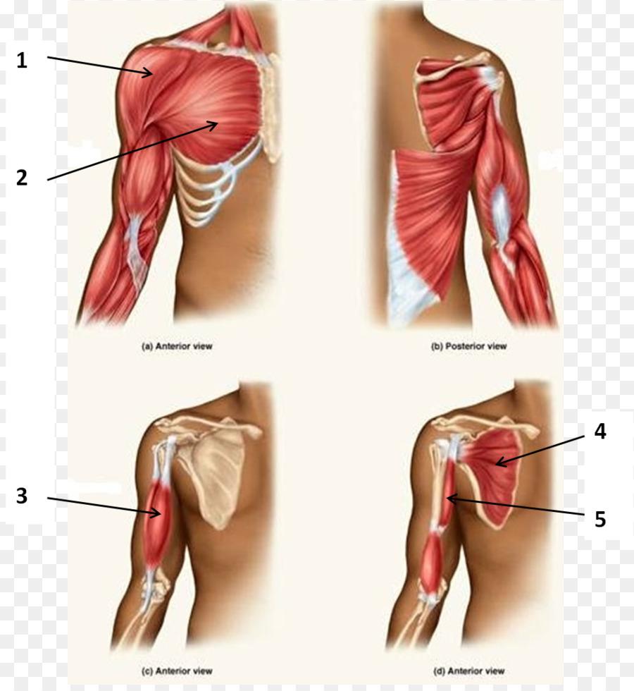 Tríceps braquial músculo Bíceps de la Anatomía del músculo ...