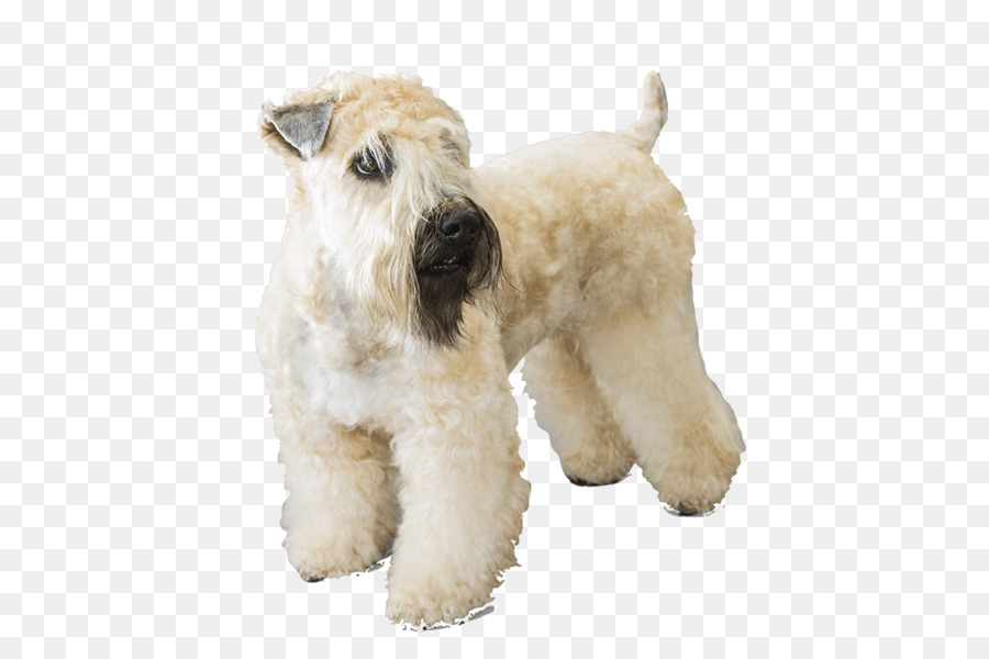 Soft-coated Wheaten Terrier Wire Hair Fox Terrier Lakeland Terrier ...