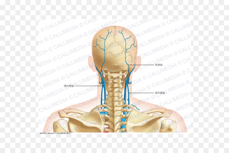 Thumb Posterior triangle of the neck Vein Head and neck anatomy ...