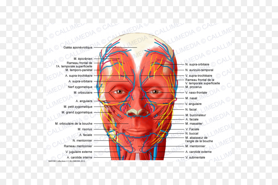 Head and neck anatomy Temporoparietalis muscle Supratrochlear artery ...