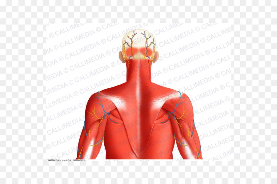 Superior del músculo auricular Posterior triángulo del cuello ...
