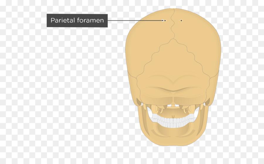Hueso Parietal Parietal de la eminencia Occipital hueso Anatomía ...