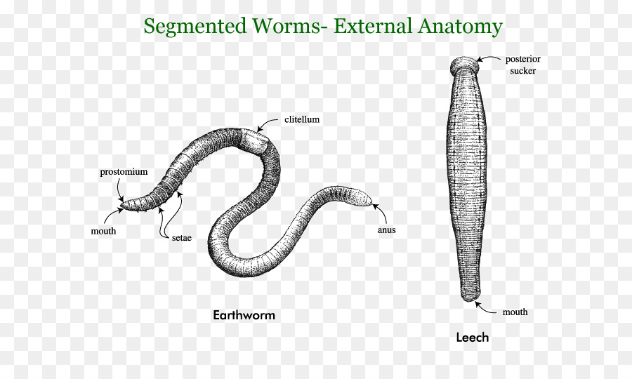 Earthworms Annelid Segmentation Roundworms - Giant Tube Worm png ...