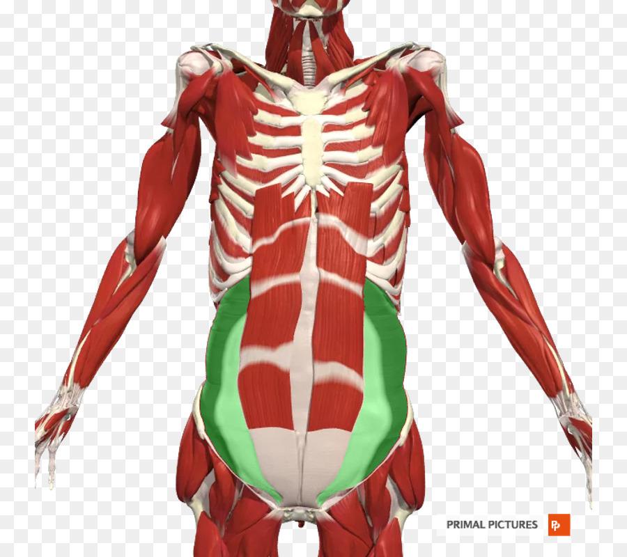 Hombro, Axila de la Anatomía de los Nervios Intercostales muscular ...