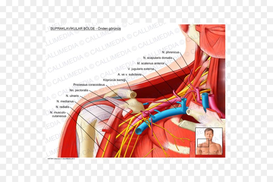 Supraclavicular canal Supraclavicular los ganglios linfáticos de la ...
