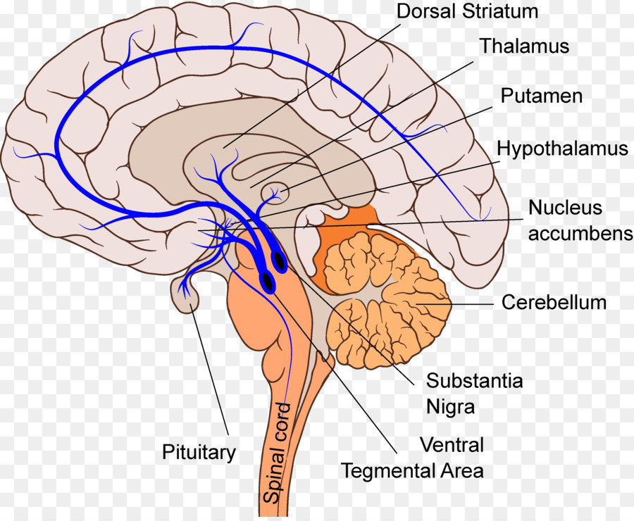 Homo Sapiens Mesolimbic Pathway Reticular Formation Dopamine Brain