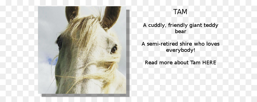 shire horse mane my name is tam horse tack hereford cattle rare