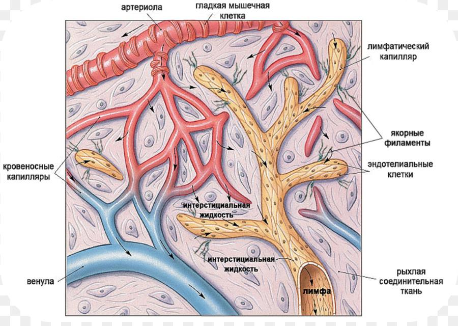 Linfático capilar Linfático sistema Linfático vaso - corazón png ...