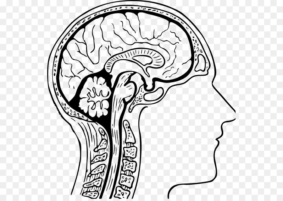 El Cerebro Humano para Colorear Libro Anatomía de la cabeza Humana ...