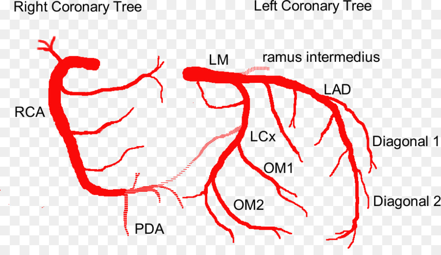 Coronary circulation Anterior interventricular branch of left ...
