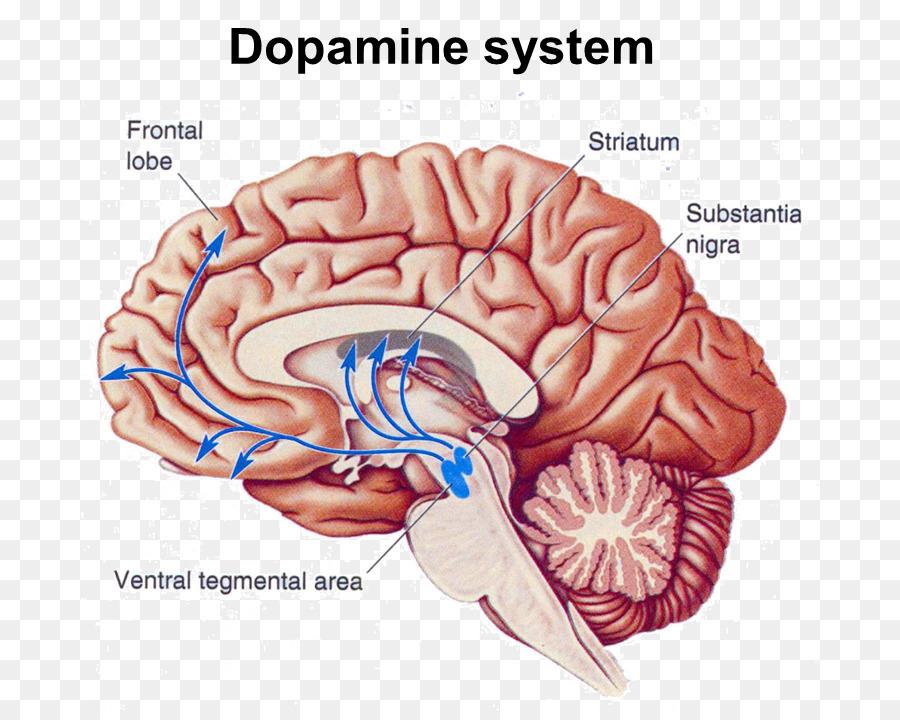 Nucleus accumbens Ventral tegmental area Brain Dopamine - Brain png ...