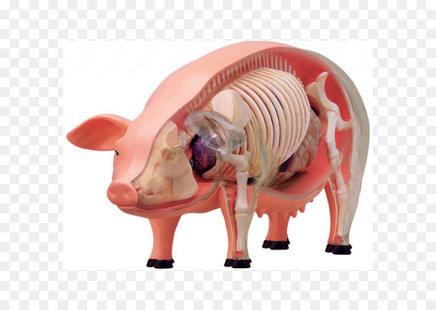 Perro Anatomia anatomía animal anatomía Humana Cerebro - Cerebro ...