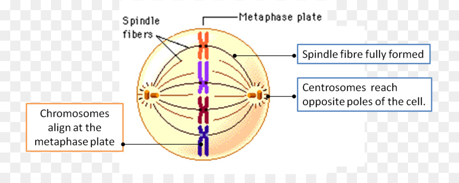 Spindle In Interphase Diagram All Kind Of Wiring Diagrams