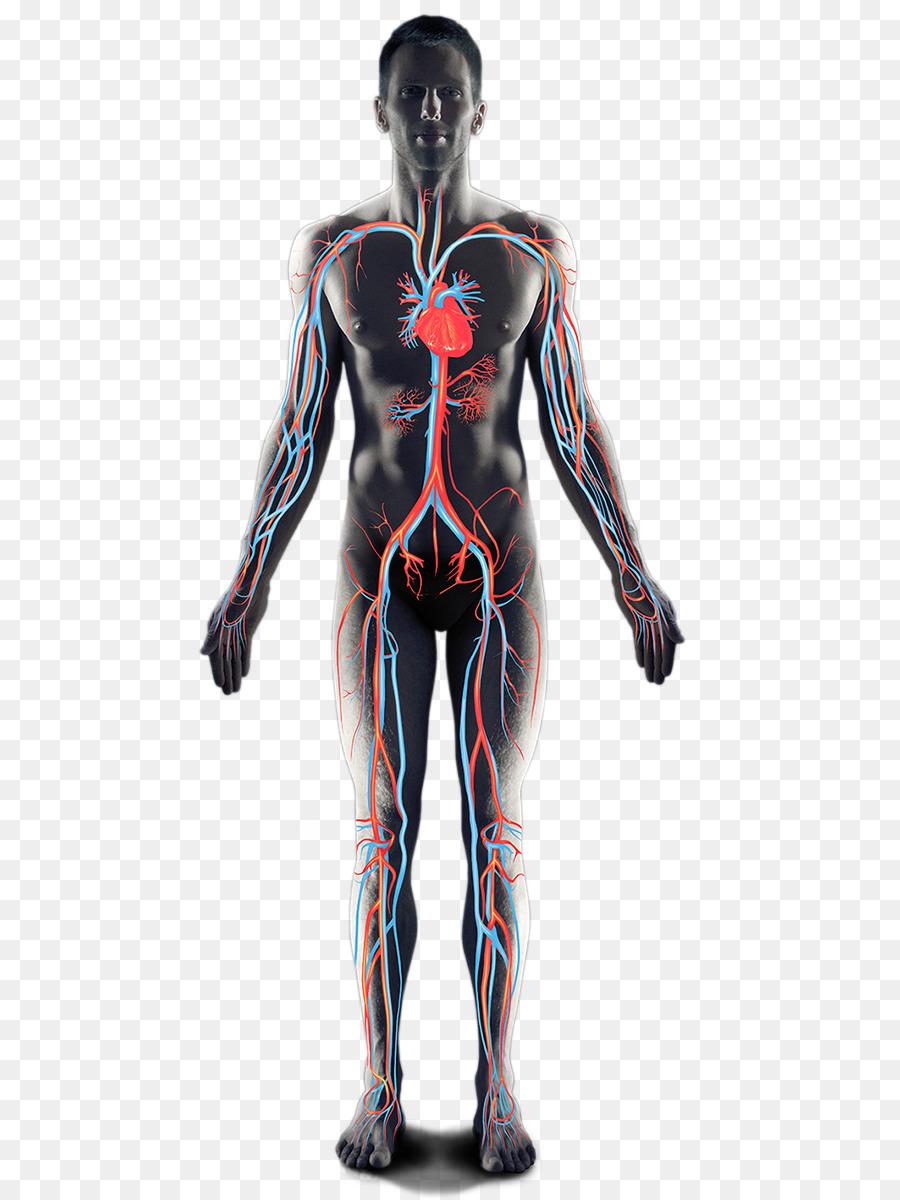 Hombro Homo sapiens Músculo de la Cadera Brazo - brazo Formatos De ...