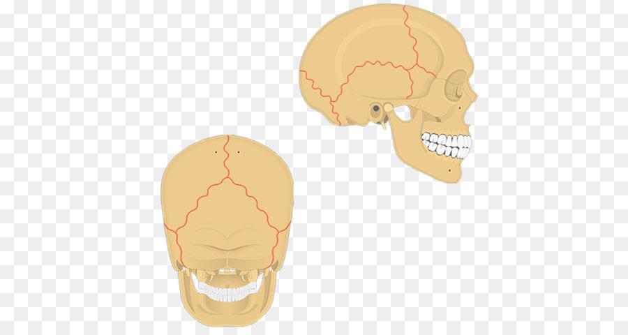 Skull Suture Anatomy Bone Human body - skull png download - 1200*630 ...