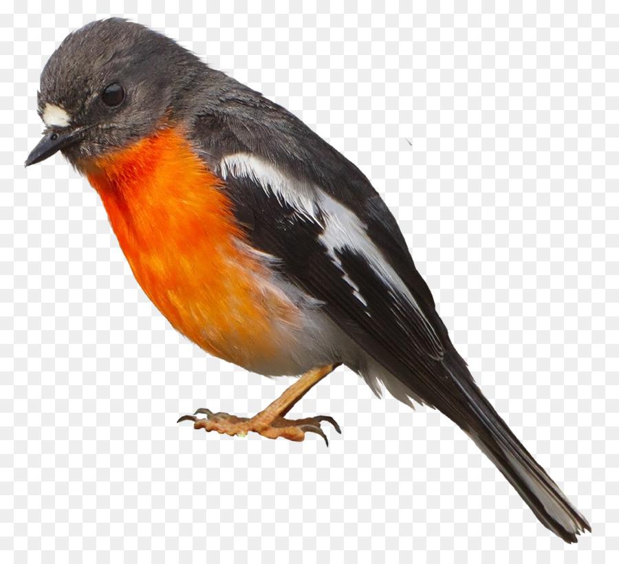 Robin Bird png download - 994*904 - Free Transparent