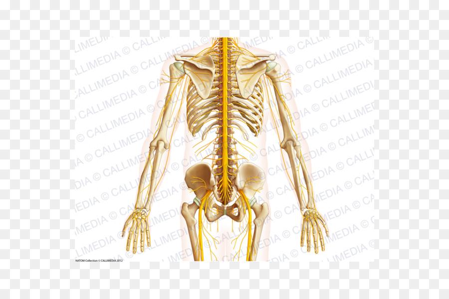 El Hombro De La Pelvis Ósea Anatomía Del Abdomen - Humanos Bein png ...