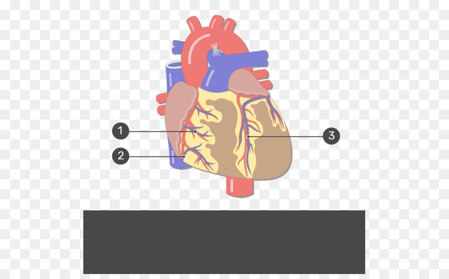 Anatomía humana Corazón sistema Circulatorio del cuerpo Humano ...