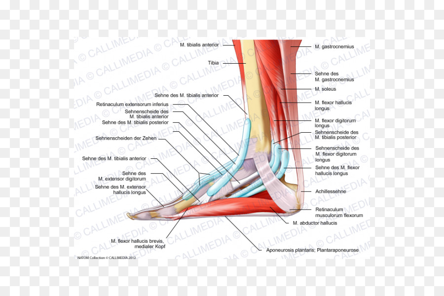 Elbow Foot Human Anatomy Muscle Bursa Png Download 600600