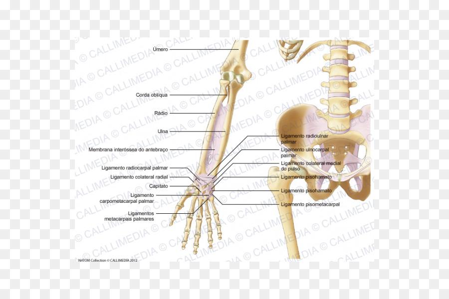 Esqueleto humano Ligamento del Codo Antebrazo - Esqueleto Formatos ...