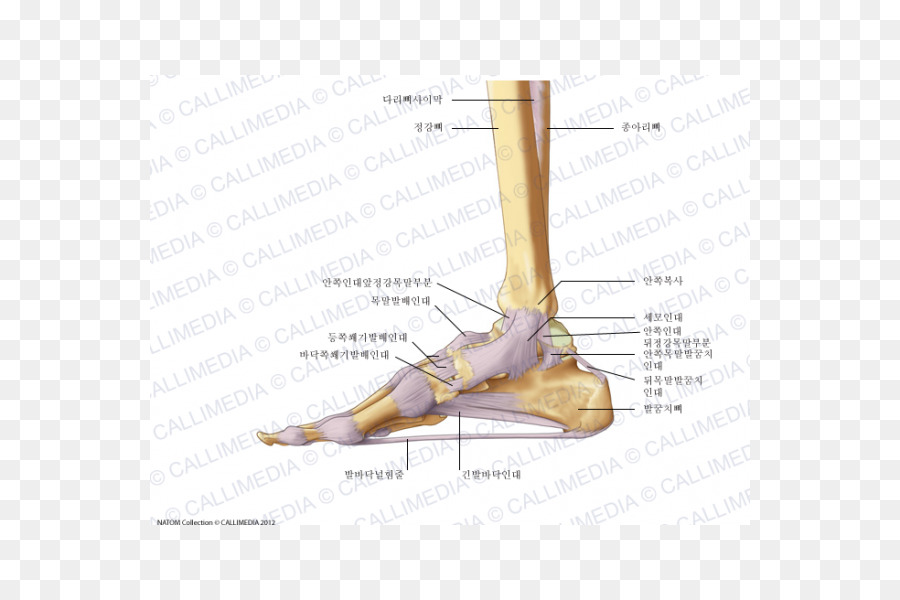 Finger Foot Deltoid ligament Anatomy - Human Bein png download - 600 ...