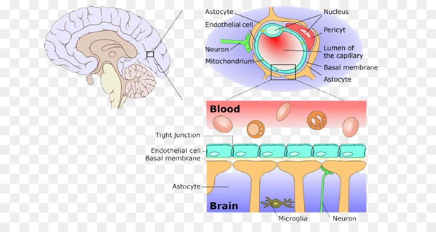 Bloodbrain barrier meninges central nervous system drug delivery bloodbrain barrier meninges central nervous system drug delivery ccuart Choice Image