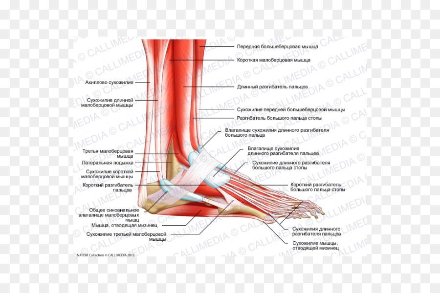 Inserción del Extensor de los dedos en el músculo largo del Pie ...