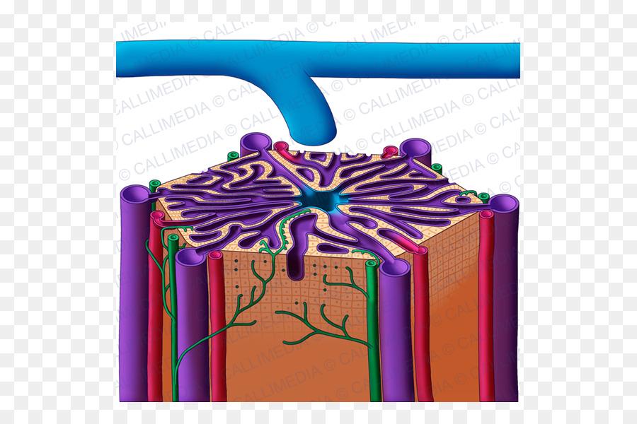Lobe Lobules Of Liver Hepatic Veins Anatomy Digestive System Png