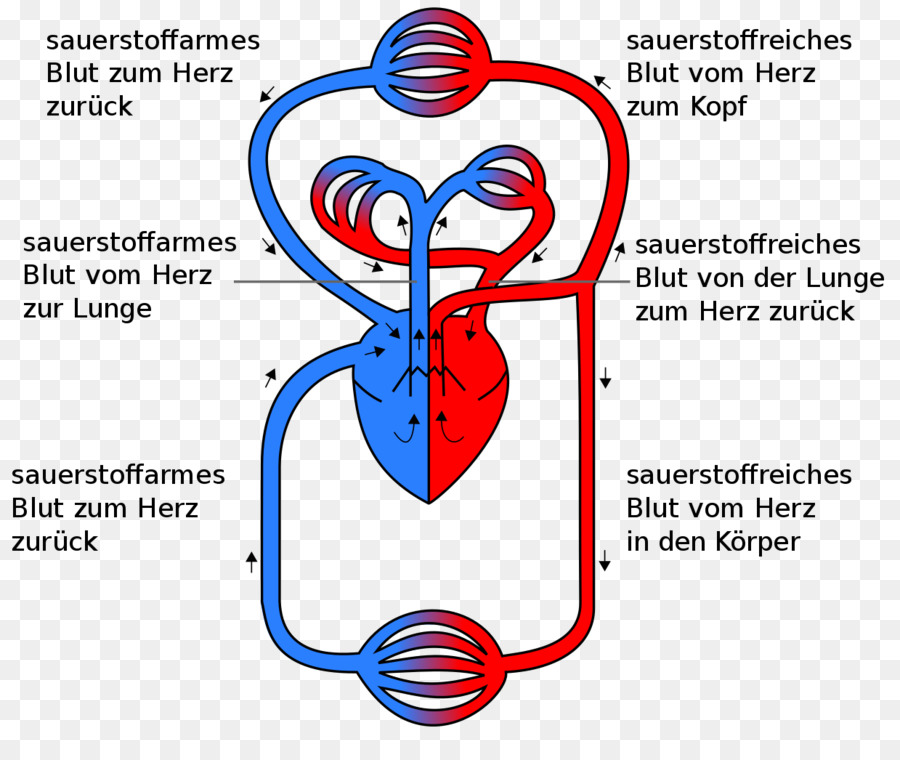 Circulatory System Pulmonary Circulation Heart Gas Exchange Anatomy
