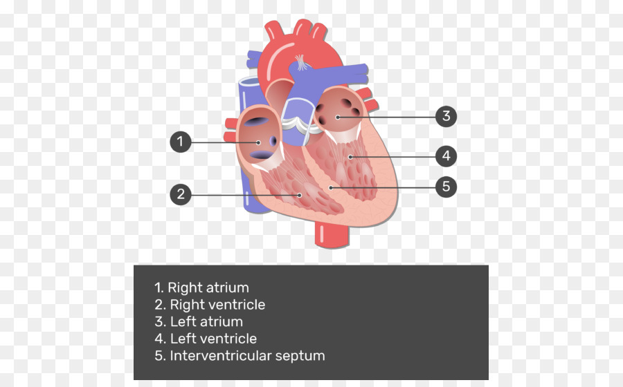 Heart valve Mitral valve Anatomy Pulmonary valve - heart png ...