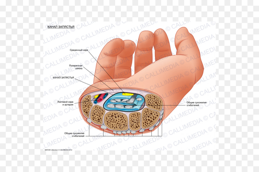 Carpal Tunnel Human Anatomy Carpal Bones Wrist Hand Png Download
