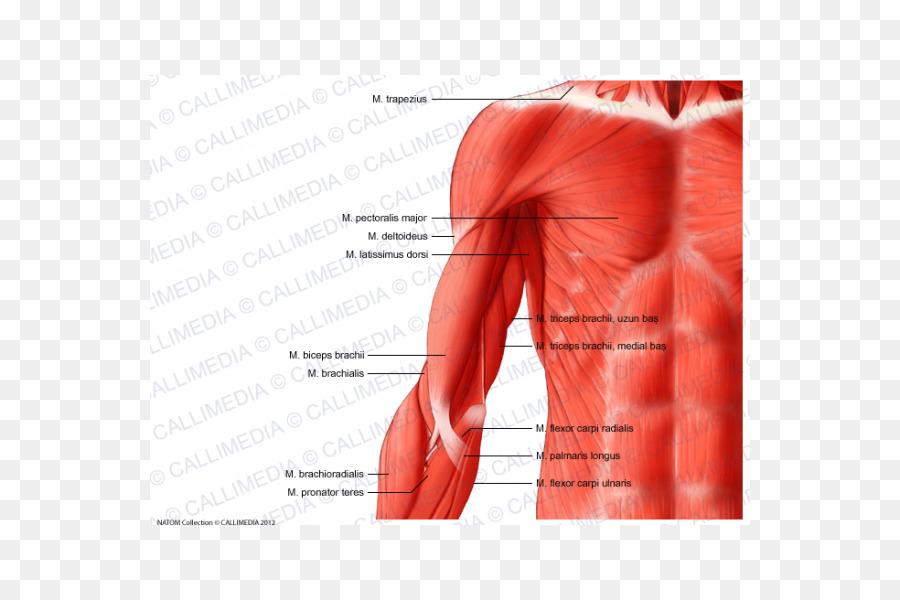 Brazo del Músculo del Hombro Anatomía del cuerpo Humano - brazo png ...