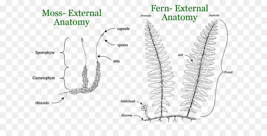 Anatomía vegetal Reptiles Tortuga Moss - Los Helechos Y Las Colas De ...