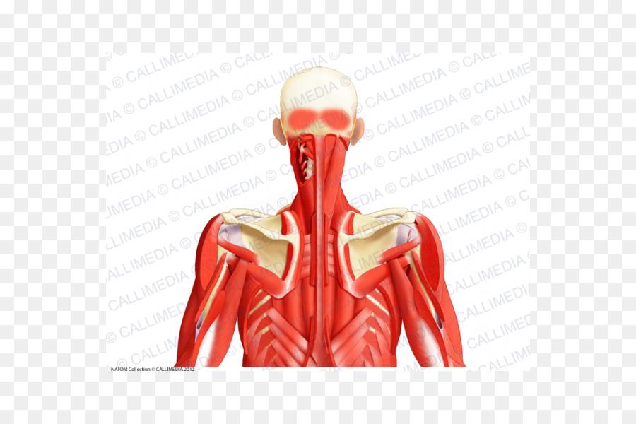 Sistema Muscular el Músculo triángulo Posterior del cuello, la ...