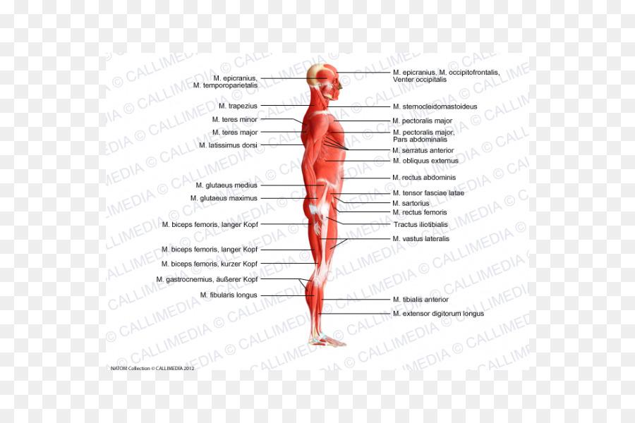 Trapecio cuerpo Humano Músculos de la Anatomía del sistema Muscular ...