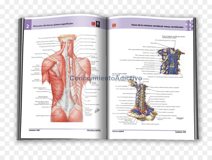 Shoulder Muscle Human Back Organism Font Frank H Netter Png