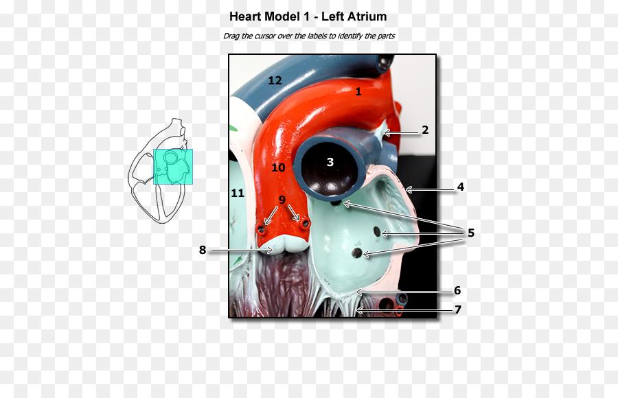 La aurícula del Corazón Humano, la anatomía del sistema Circulatorio ...