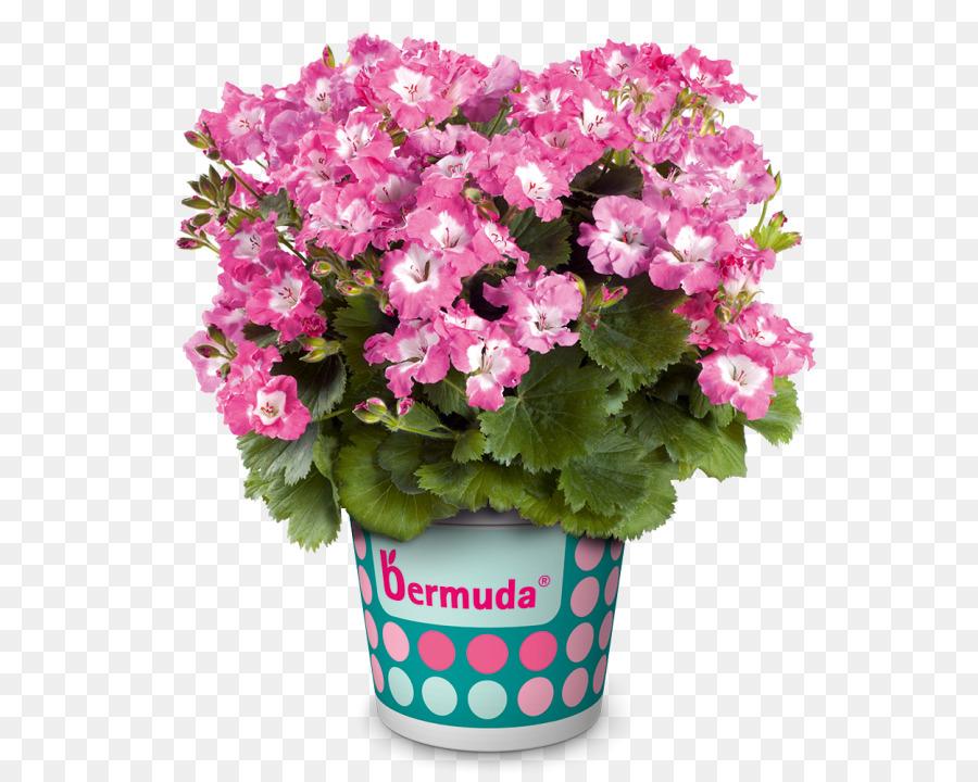 Regal pelargonium Benih Bunga Warna tanaman Tahunan - Bunga