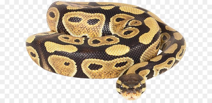 La serpiente de la Bola de python python pitón roca Africana - la ...