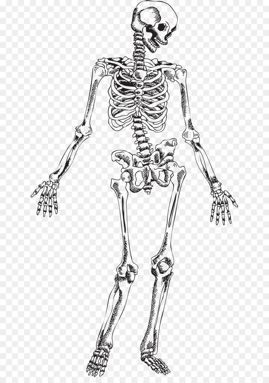 Esqueleto humano Cráneo - Esqueleto png dibujo - Transparente png ...