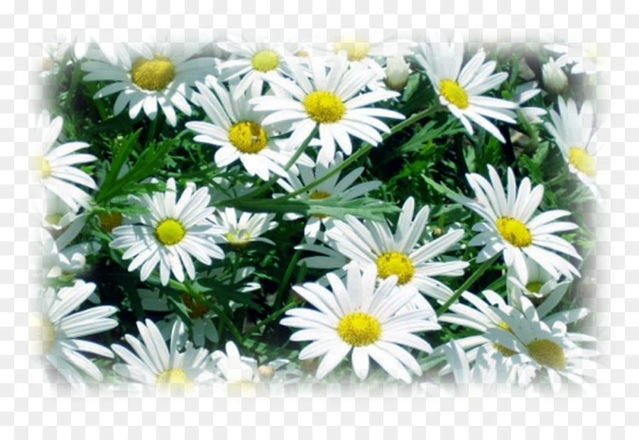 Des Fleurs Comestibles Marguerite De Camomille Romaine Marguerite
