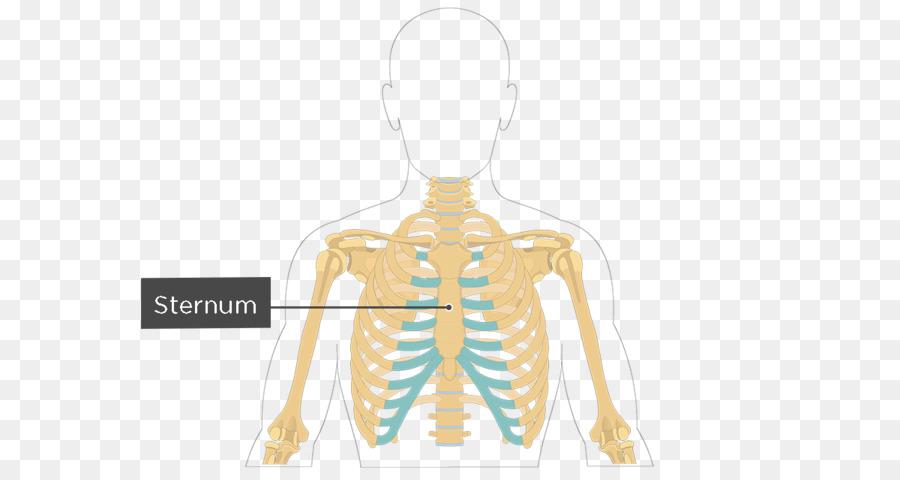 Sternum Rib Cage Anatomy Bone Thai Fried Rice Png Download 1200