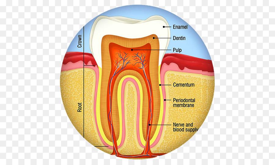 Diente humano anatomía Dental la caries Dental Endodoncia - corona ...
