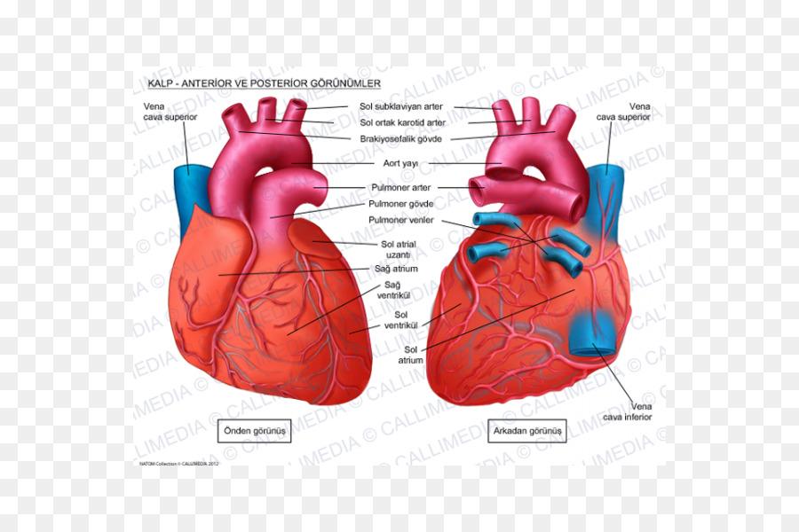 Human Heart Anatomy Circulatory System Coronal Plane Heart Png