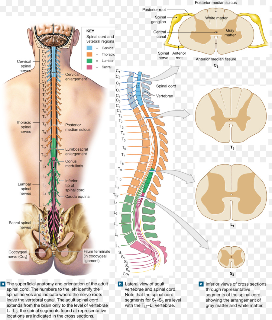 Lumbar Nerves Diagram Anterior View Product Wiring Diagrams