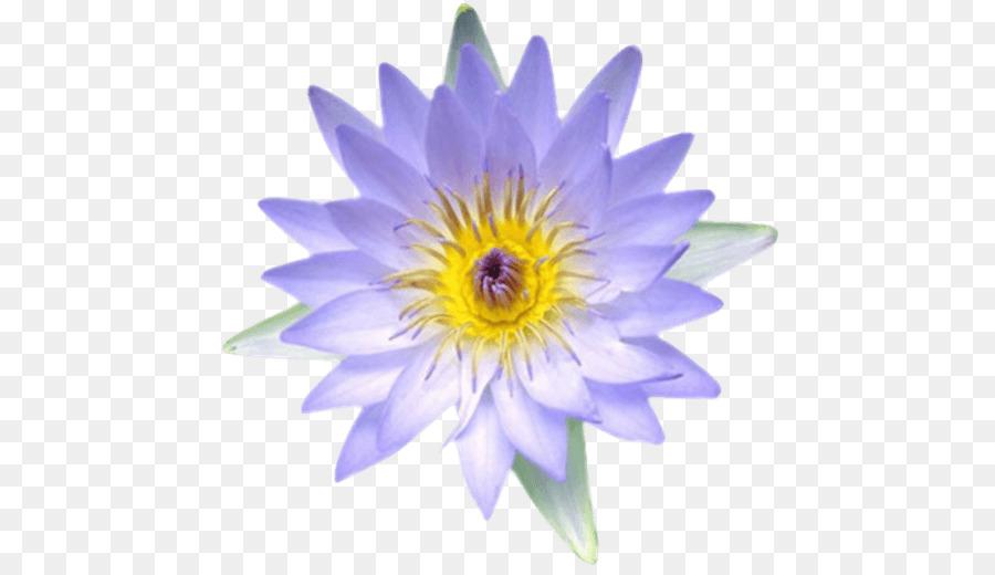 Egyptian lotus nymphaea lotus nelumbo nucifera ancient egypt flower egyptian lotus nymphaea lotus nelumbo nucifera ancient egypt flower flower mightylinksfo