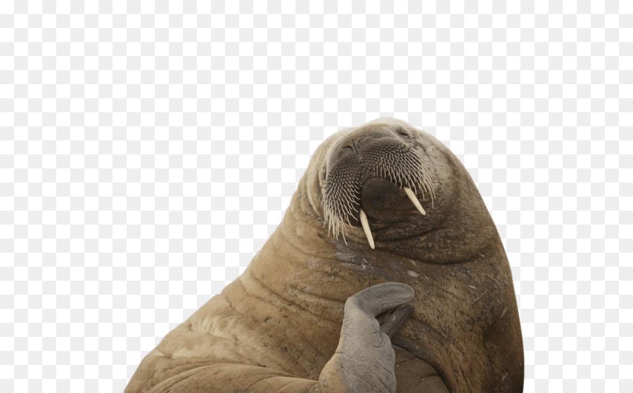 León marino de la Morsa Ártico Animal subida del nivel del Mar ...